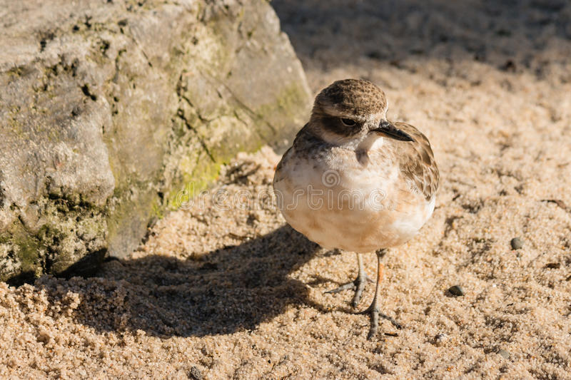 New Zealand dotterel. Closeup of New Zealand dotterel royalty free stock photos