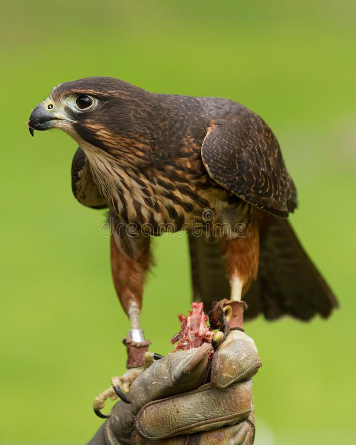 Falcon eating on falconer`s glove. A New Zealand falcon is rewarded with food at the Wingspan National Bird of Prey Center, Rotorua, New Zealand royalty free stock image