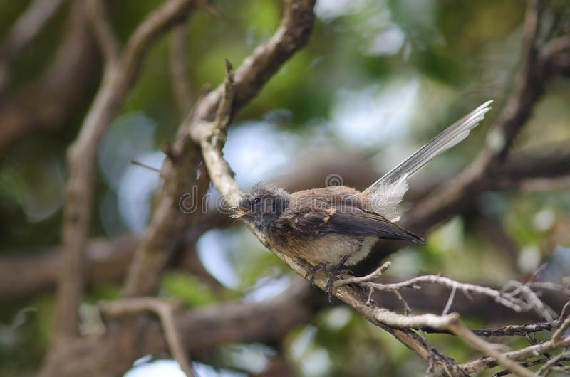 New Zealand fantail. royalty free stock photography