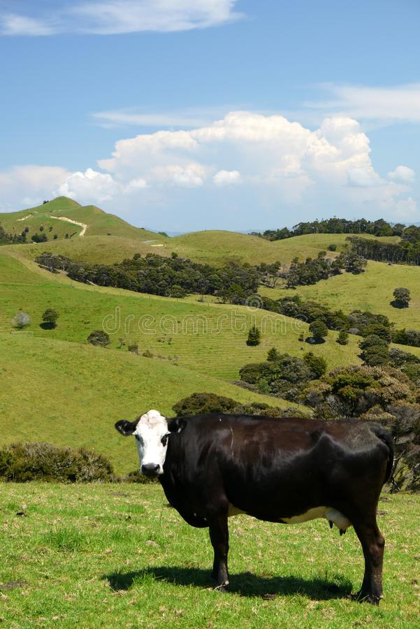 New Zealand: farm landscape with cow. New Zealand farmland landscape with dairy cow and hill - vertical format stock photos