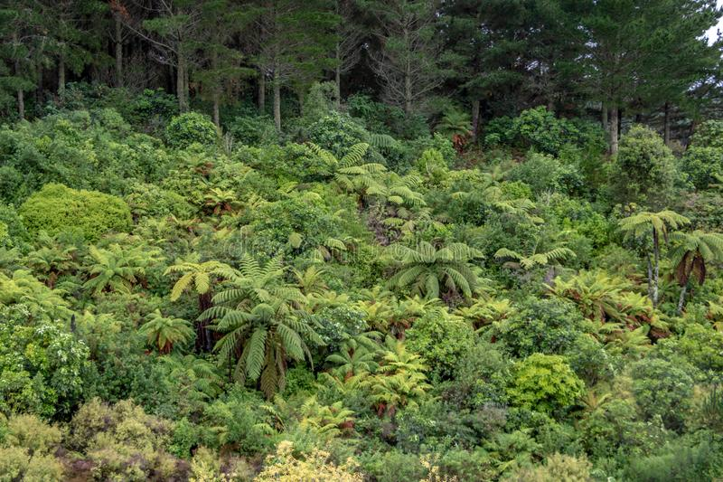 Fern forest in New Zealand surrounded by pine trees. New Zealand ferns in the Taupo region, dense forest with pines in background royalty free stock images