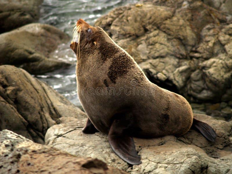 Download New zealand fur seal stock photo. Image of newzealand - 3885768