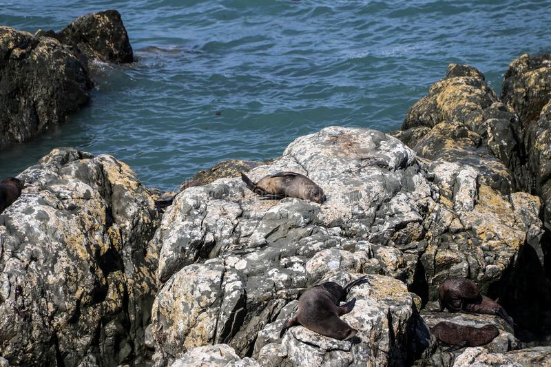 New Zealand fur seals of the South Island coast of Kaikoura royalty free stock image