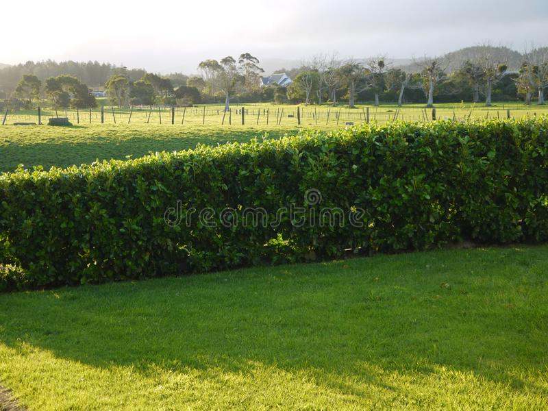 New Zealand: green farm fields. Green grass dairy farm fields and hedge with distant hill views, Waipu, Northland, New Zealand stock photo
