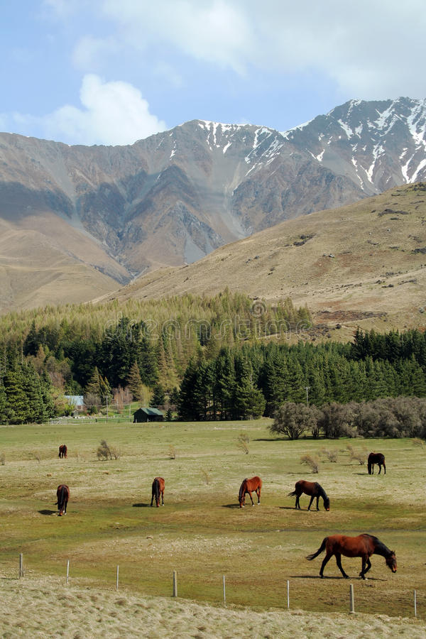 Download New Zealand horses stock image. Image of field, agriculture - 18558789