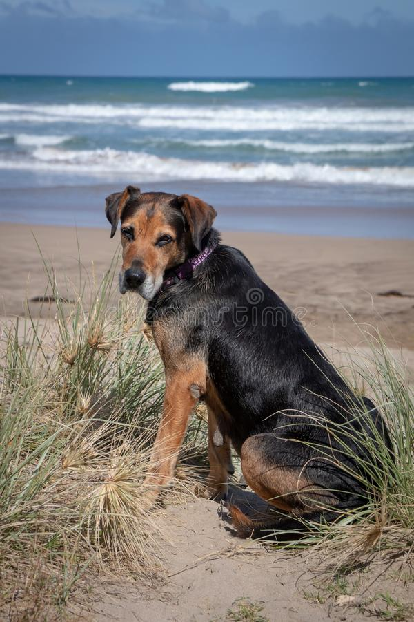New Zealand Huntaway on beach in sun two days after retiring from being a full time sheepdog stock photography