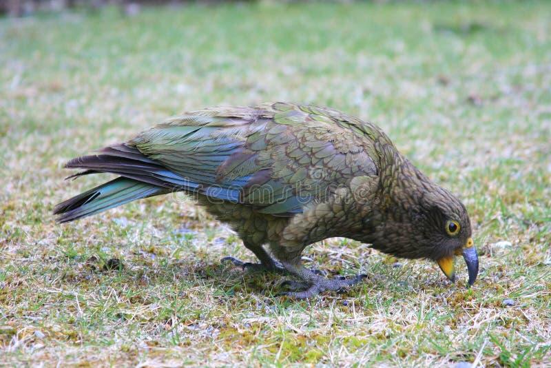 New Zealand Kea. The native New Zealand bird, the Kea, eating seeds stock photo
