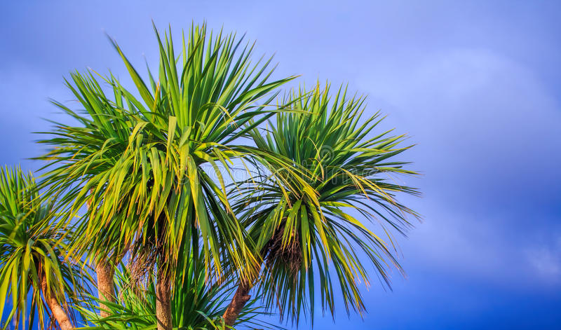 New Zealand landscape with the cabbage palm tree. Ti kouka New Zealand cabbage palm tree, landscape with a blue sky stock photos
