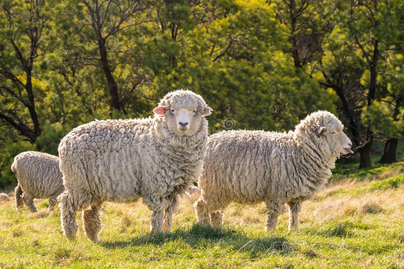 New Zealand merino sheep grazing on fresh grass. Flock of New Zealand merino sheep grazing on fresh grass royalty free stock photography