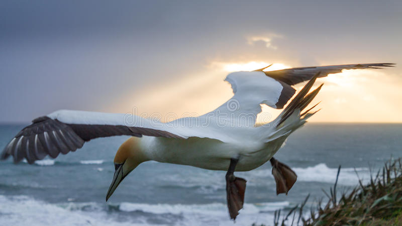 New Zealand - Muriwai Beach Flying Gannet. Picture of a gannet floating gracefully in mid-air during high winds stock photo