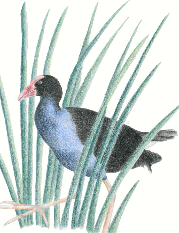 New Zealand Native Bird Pukeko royalty free stock images