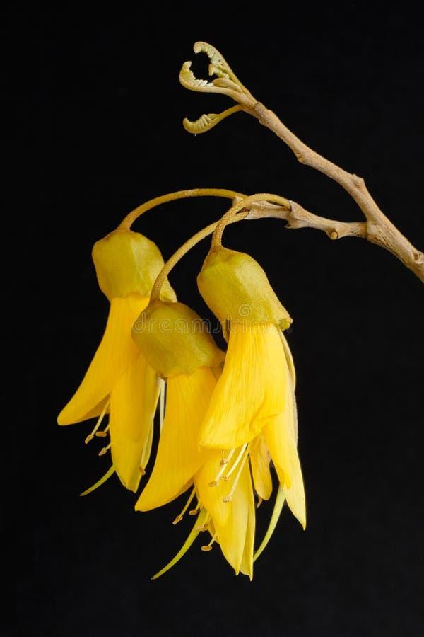 Yellow Blossom of Kowhai Tree royalty free stock photography