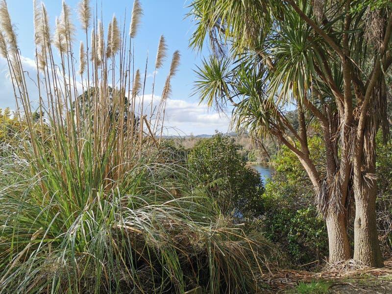 New Zealand Native Plants Toetoe Cortaderia Splendens and Cabbage Tree Cordyline Australis beside the Waikato River Cambridge stock photo