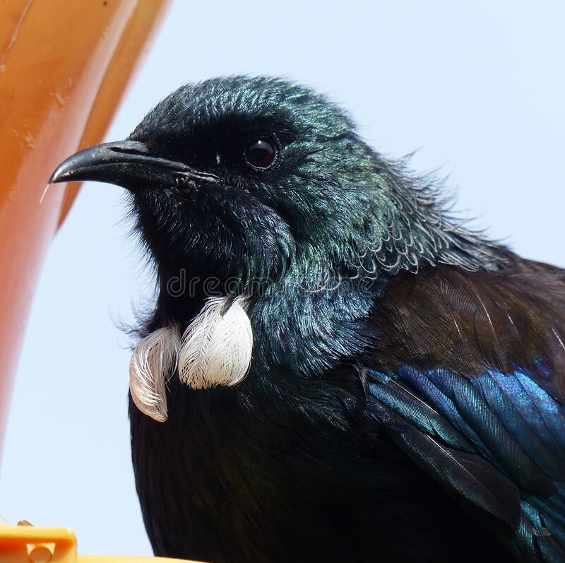 New Zealand native Tui bird close up head shot at bird feeder stock photos