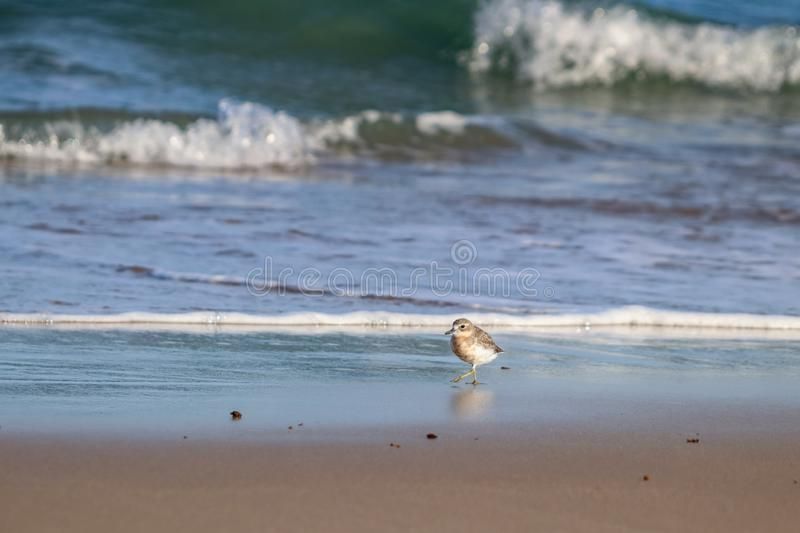 New Zealand Northern Dotterel seabird Tuturiwhatu Pukunui in its natural habitat at river mouth junction with sandy ocean beach. New Zealand Northern Dotterel royalty free stock image