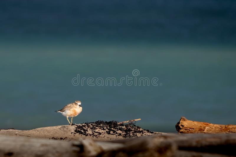 New Zealand Northern Dotterel seabird Tuturiwhatu Pukunui in its natural habitat at river mouth junction with sandy ocean beach. New Zealand Northern Dotterel royalty free stock photo