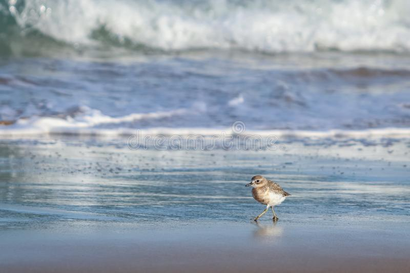 New Zealand Northern Dotterel seabird Tuturiwhatu Pukunui in its natural habitat at river mouth junction with sandy ocean beach. New Zealand Northern Dotterel royalty free stock photography