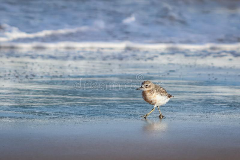 New Zealand Northern Dotterel seabird Tuturiwhatu Pukunui in its natural habitat at river mouth junction with sandy ocean beach. New Zealand Northern Dotterel stock photos