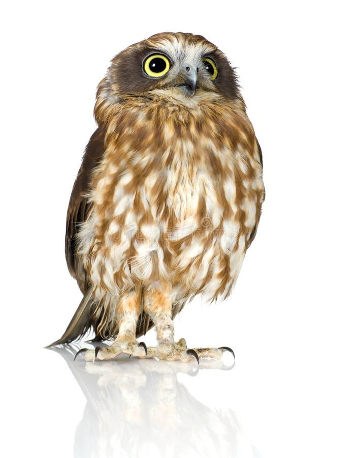 New Zealand owl royalty free stock photo