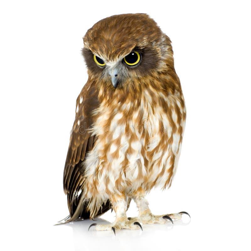 New Zealand owl stock photography