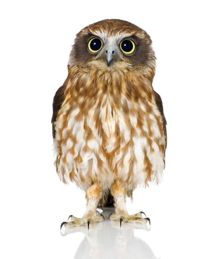 New Zealand owl royalty free stock photography