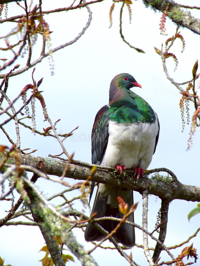 New Zealand Pigeon Royalty Free Stock Photography