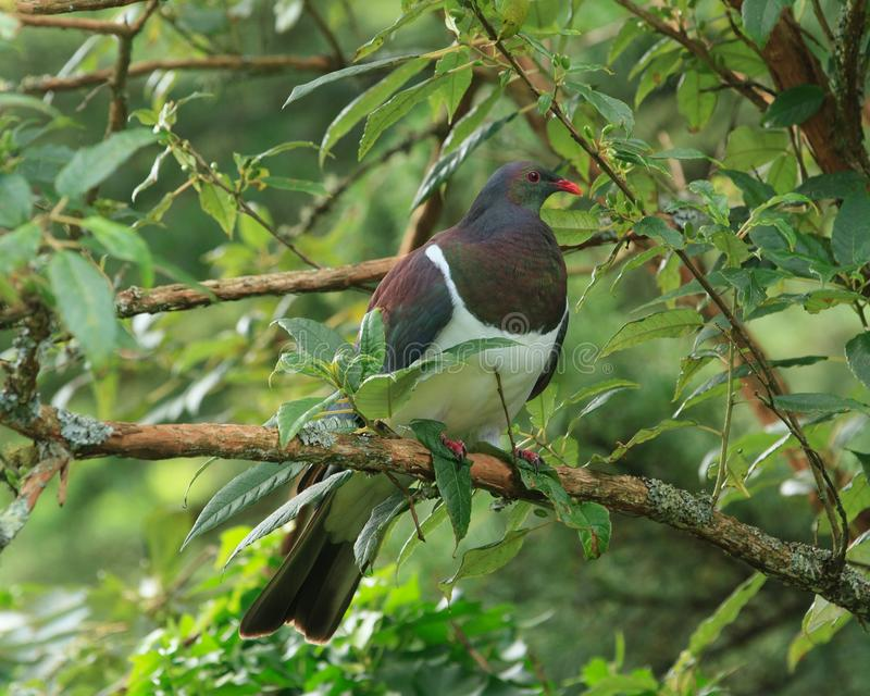 New Zealand Pigeon in Tree royalty free stock photo