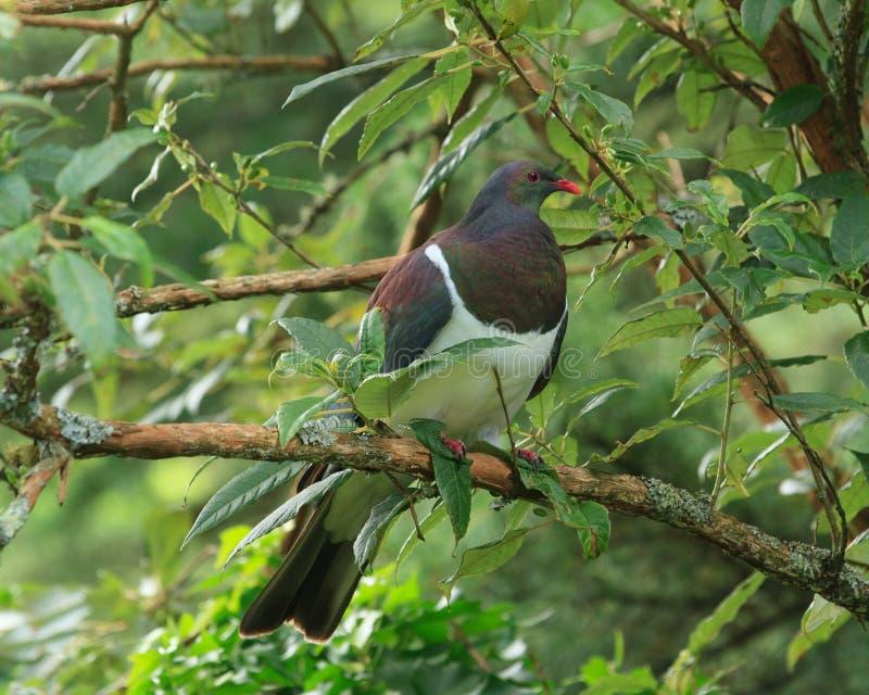 New Zealand Pigeon in Tree. A New Zealand pigeon or kereru Hemiphaga novaeseelandiae displaying its colorful green-purple iridescent feathers. The bird is royalty free stock photo