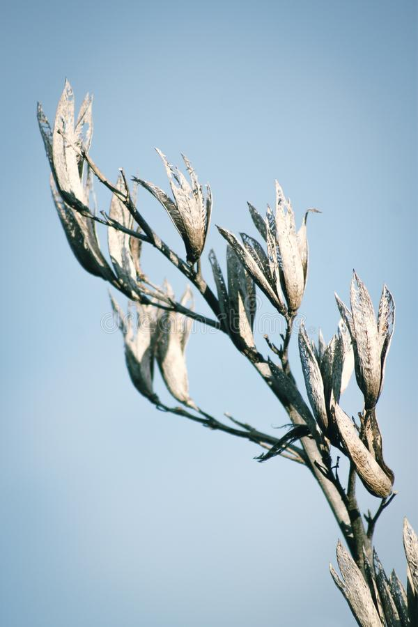 New Zealand plant Flax phormium dried seed pods. Close up image of New Zealand plant Flax phormium dried seed pods against a blue sky stock photo