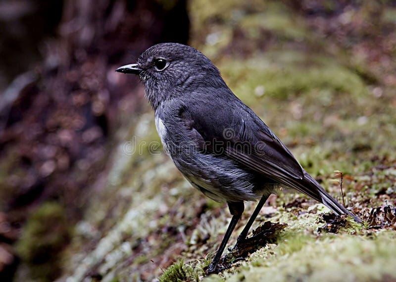 New Zealand Robin. (petroica Australis Australis) Free Public Domain Cc0 Image