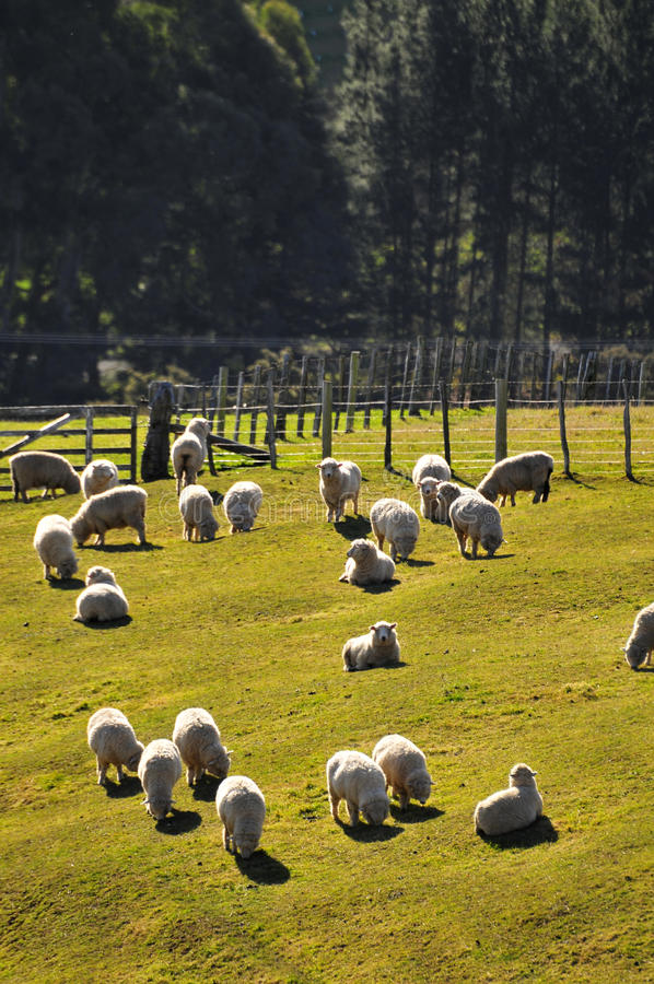 New Zealand Sheep royalty free stock photos