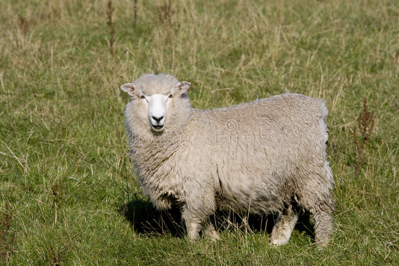 New Zealand Sheep. Standing in grass stock photo