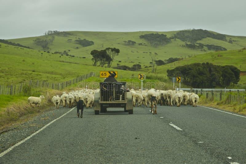 New Zealand Sheep Farming royalty free stock photography