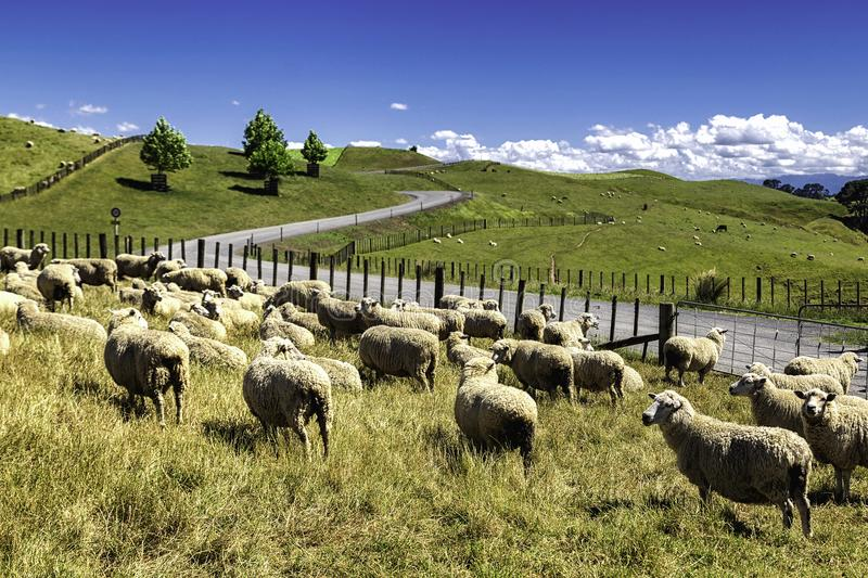 New Zealand sheep flock grazing in the beautiful green hill. Of North Island stock photos
