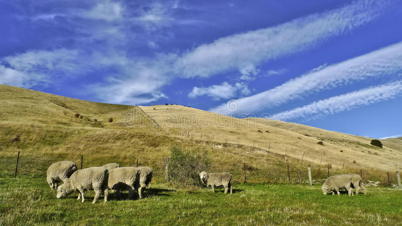 New Zealand Sheep Grazing stock photography