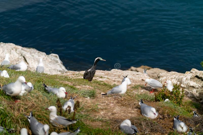 New Zealand spotted shag among breeding colony of red billed seagulls. At Katiki Point, Moeraki royalty free stock photography
