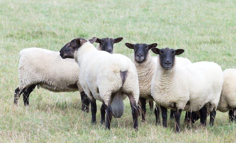 New Zealand Suffolk Sheep. Close up image of New Zealand Suffolk Sheep royalty free stock photography