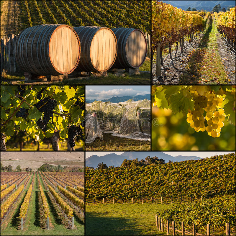 New Zealand vineyards in autumn stock photography