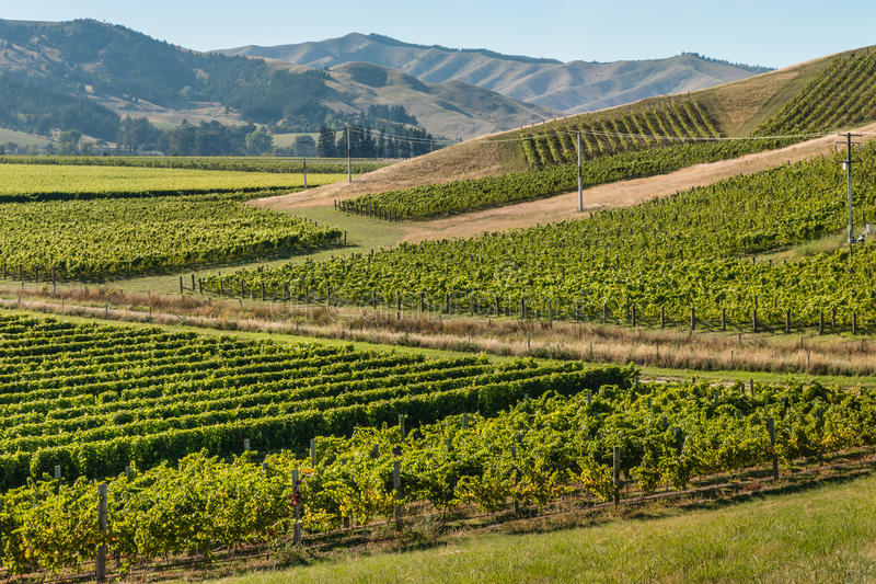 New Zealand vineyards in summertime royalty free stock images