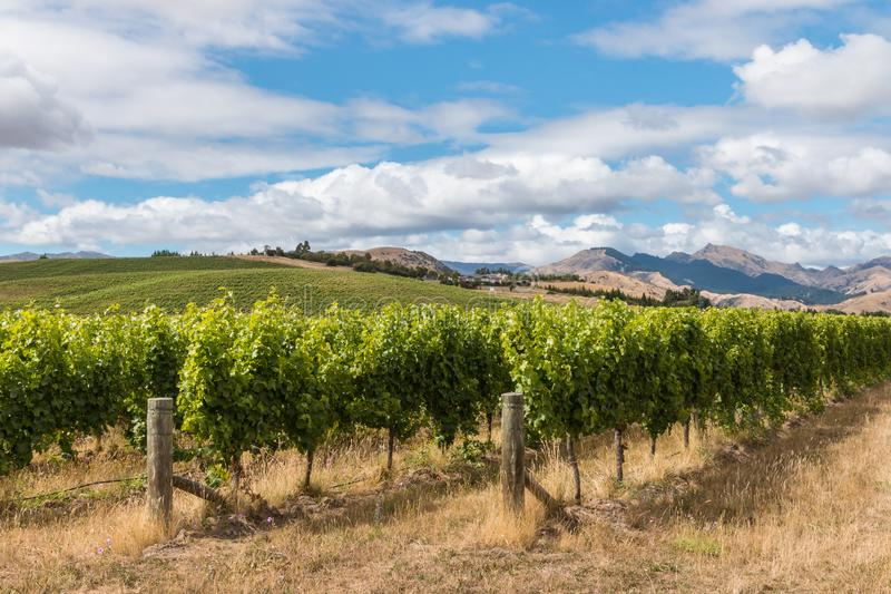 New Zealand vineyards in summertime stock photos