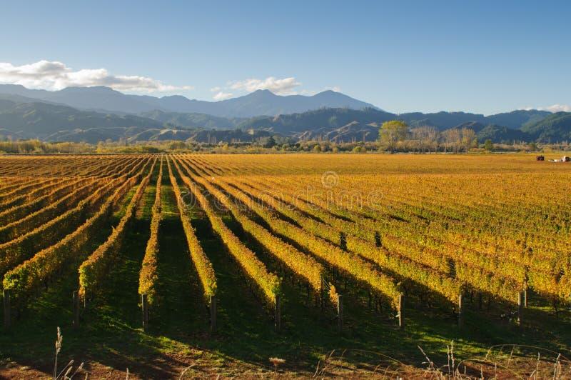 New Zealand vingård royaltyfri fotografi