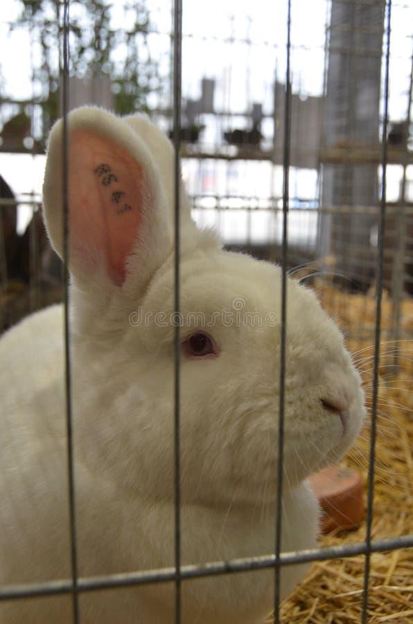 New Zealand White rabbit stock photography