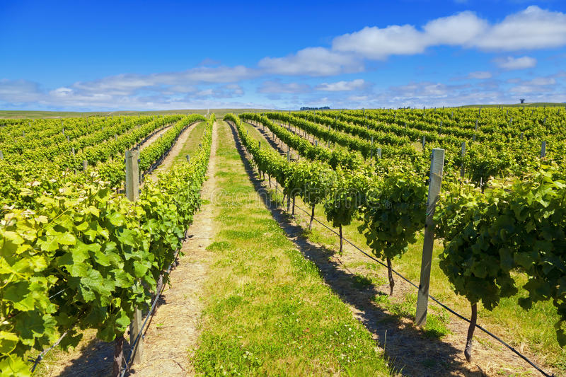 Download New Zealand Wine Country stock image. Image of summer - 21918235