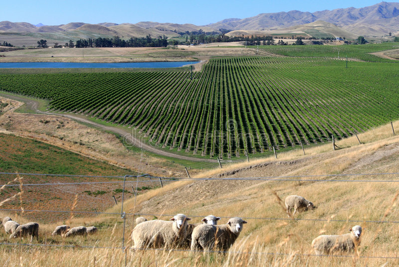 New Zealand wine grape valley royalty free stock photography