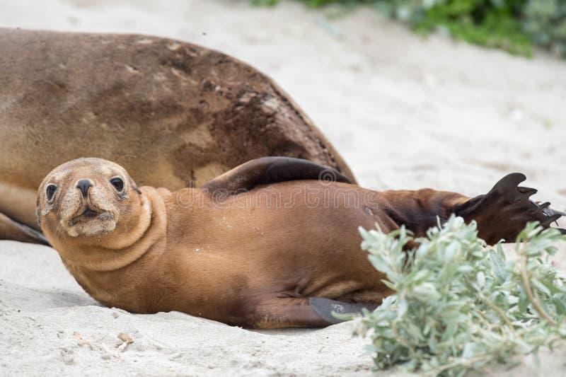 Newborn австралийский морсой лев на предпосылке песчаного пляжа стоковые фото