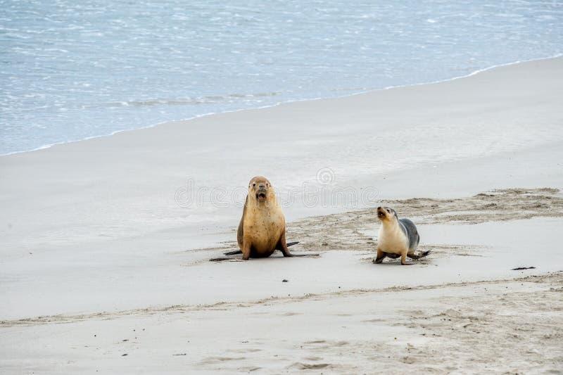 Newborn австралийский морсой лев на предпосылке песчаного пляжа стоковые изображения
