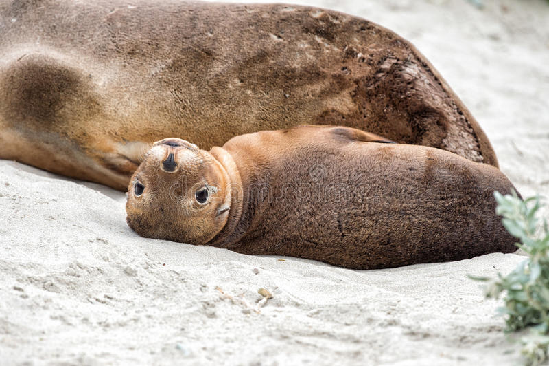 Newborn австралийский морсой лев на предпосылке песчаного пляжа стоковое фото
