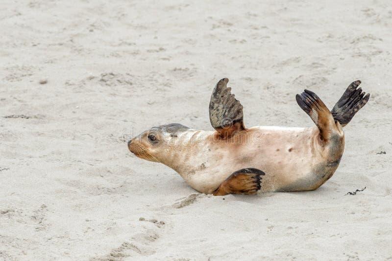 Newborn австралийский морсой лев на предпосылке песчаного пляжа стоковая фотография