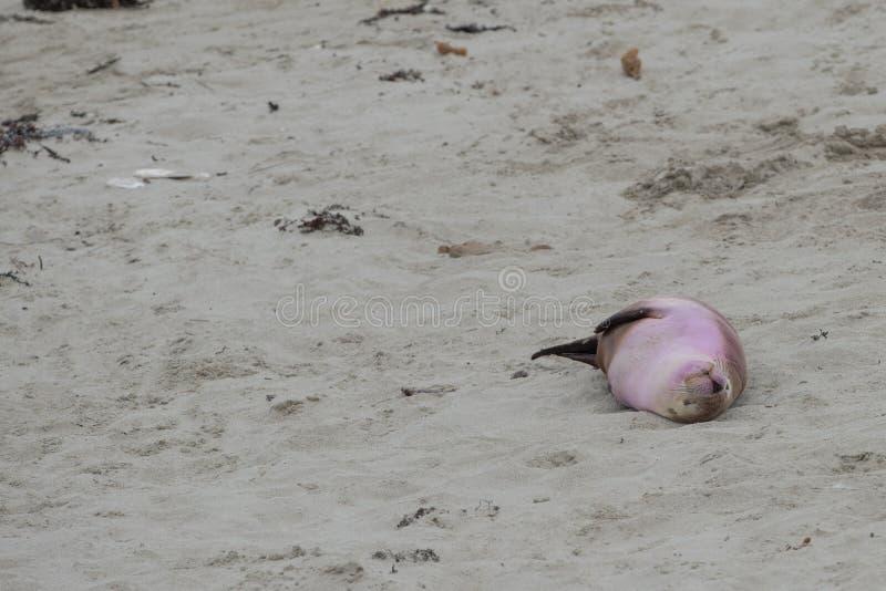 Newborn австралийский морсой лев на предпосылке песчаного пляжа стоковые фотографии rf