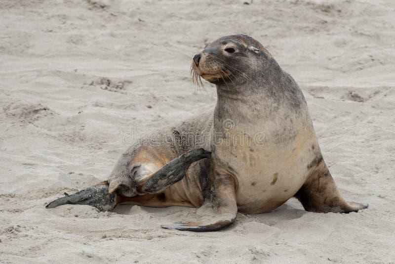 Newborn австралийский морсой лев на предпосылке песчаного пляжа стоковое фото rf